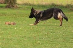 Briga Schutzhund 3 Dezember 2009 Bild Nr. 5